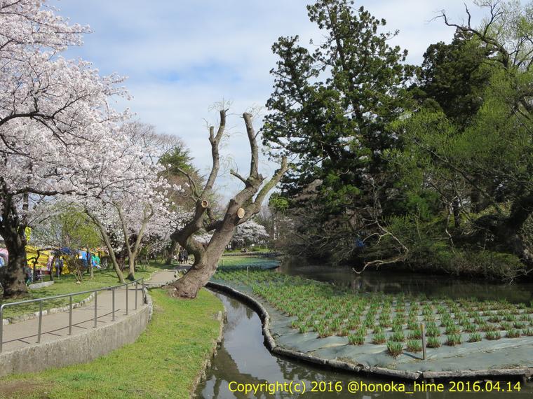 山形県 鶴岡公園 桜まつり2016.04.14(あやめ園の小路)