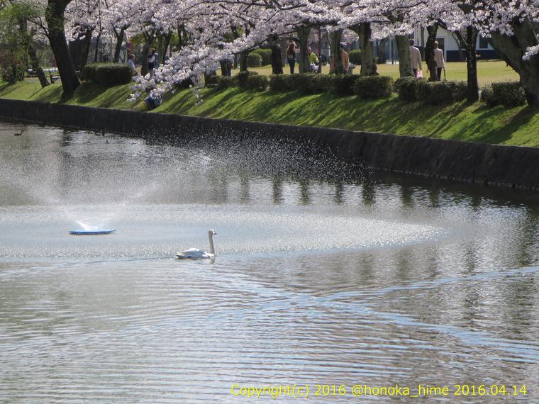 山形県 鶴岡公園 桜まつり2016.04.14(噴水側その3)