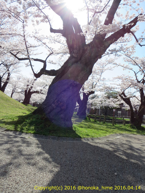 山形県 鶴岡公園 桜まつり2016.04.14(噴水前の大木1)