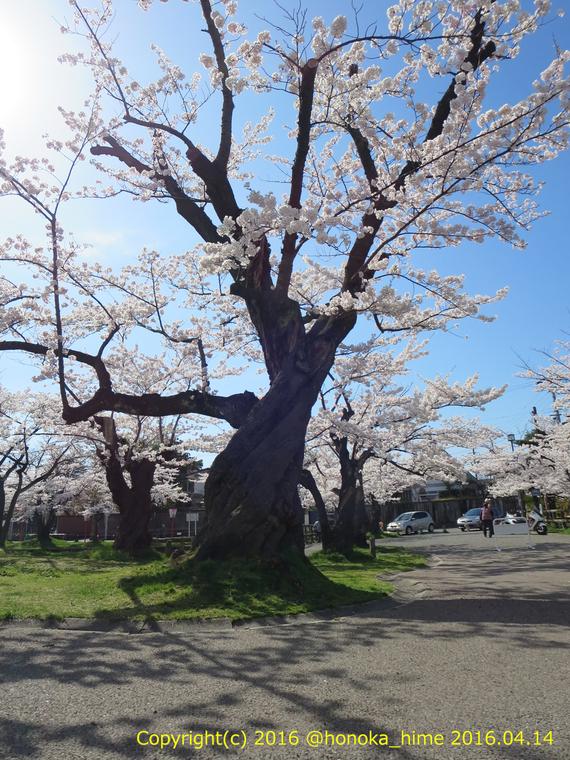 山形県 鶴岡公園 桜まつり2016.04.14(噴水前の大木2)
