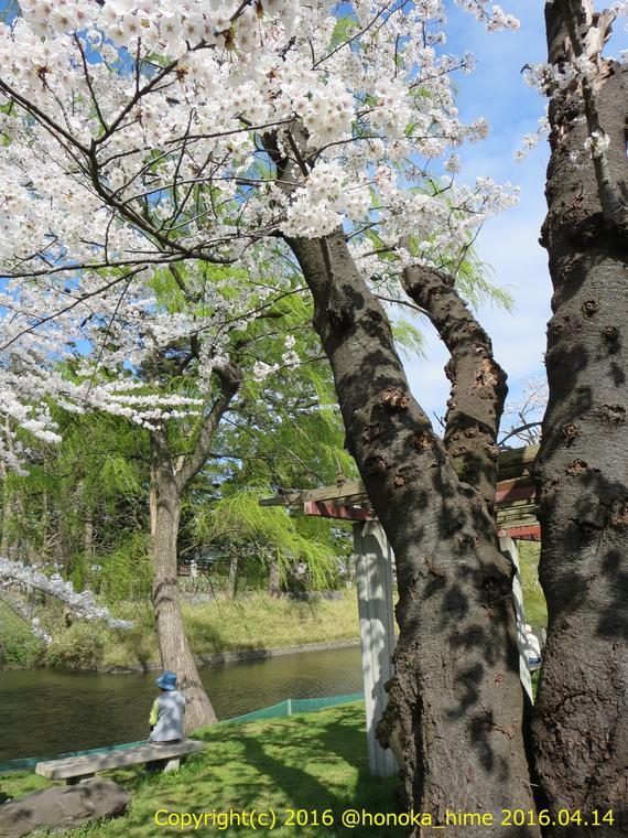 山形県 鶴岡公園 桜まつり2016.04.14(羽黒街道側の銘木)