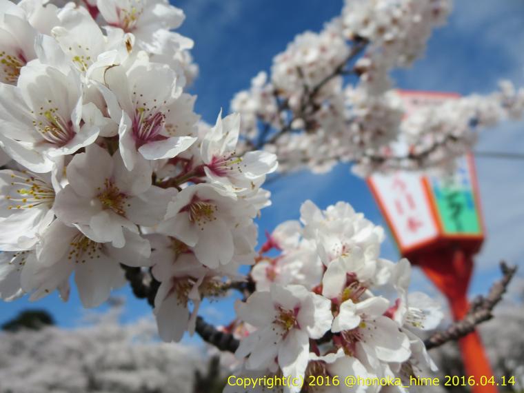 山形県 鶴岡公園 桜まつり2016.04.14(護国神社の桜その1)