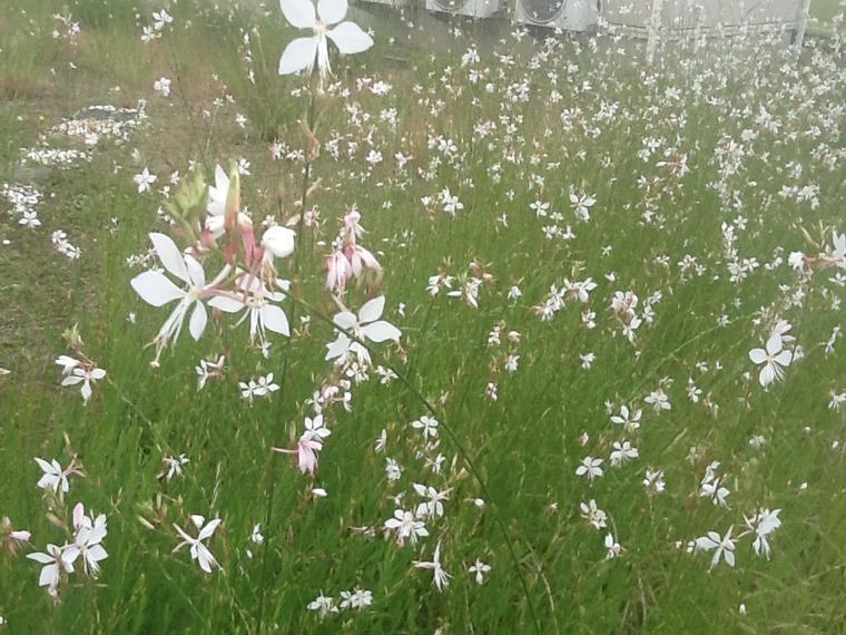 2016 庭のガウラ 白鳥草