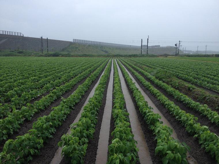 2016 大雨後のだだちゃ豆畑