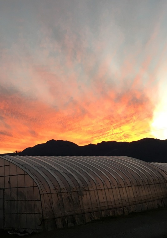 とうもろこし畑の夕陽