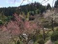 湯田川温泉 梅林公園の紅梅・白梅