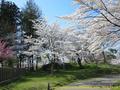 山形県 鶴岡公園 桜まつり2016.04.14(平城)