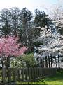 山形県 鶴岡公園 桜まつり2016.04.14(平城跡)