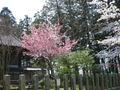 山形県 鶴岡公園 桜まつり2016.04.14(平城跡その2)