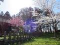 山形県 鶴岡公園 桜まつり2016.04.14(平城跡その3)