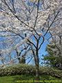 山形県 鶴岡公園 桜まつり2016.04.14(池橋前)