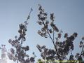 山形県 鶴岡公園 桜まつり2016.04.14(宝物殿側その1)