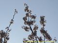 山形県 鶴岡公園 桜まつり2016.04.14(宝物殿側その2)