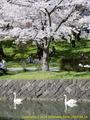 山形県 鶴岡公園 桜まつり2016.04.14(白鳥池その1)