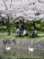 山形県 鶴岡公園 桜まつり2016.04.14(白鳥池その2)