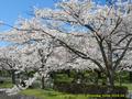 山形県 鶴岡公園 桜まつり2016.04.14(池橋の後の銘木)