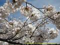 山形県 鶴岡公園 桜まつり2016.04.14(池の散策路より)
