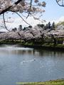 山形県 鶴岡公園 桜まつり2016.04.14(噴水側)