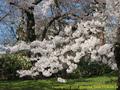 山形県 鶴岡公園 桜まつり2016.04.14(鶴工側)