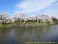 山形県 鶴岡公園 桜まつり2016.04.14(堀ばたの桜)