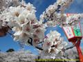 山形県 鶴岡公園 桜まつり2016.04.14(護国神社の桜その2)