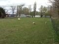 北海道大学の羊達