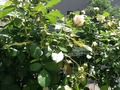 我が家の薔薇が咲き始めました。
