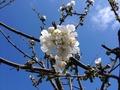 2016 春の花 さくらんぼ