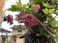 2016 春の花 アケビ