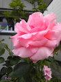 お隣りの薔薇が・・・。