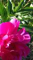 牡丹の花の原画です
