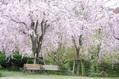 曇り、ときどき枝垂れ桜