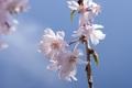 枝垂れ桜 アップ