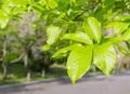 新緑 辛夷(コブシ)の木