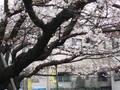 福岡の春です