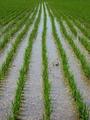 2009庄内米田植え