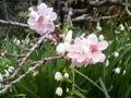 桃の花とすずらん水仙