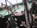 サクラ、咲いたよ〜!