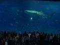 ちゅら海水族館 ジンベイザメ1