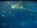 ちゅら海水族館 ジンベイザメ2 餌やり