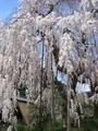 三重の垂れ桜