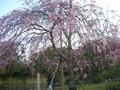 明石城の桜1