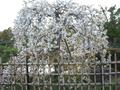 明石城の桜2