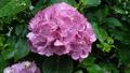 雨の紫陽花