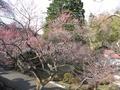 鶴岡湯田川温泉梅林公園2011その1