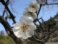 鶴岡湯田川温泉梅林公園2011その2