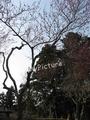 鶴岡湯田川温泉梅林公園2011その11
