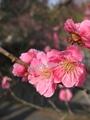 鶴岡湯田川温泉梅林公園2011その12