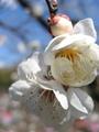 湯田川温泉 梅林公園 梅祭りその1