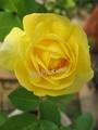 2011わが家のバラその1